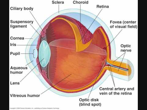 Associated Structures  Vitreous