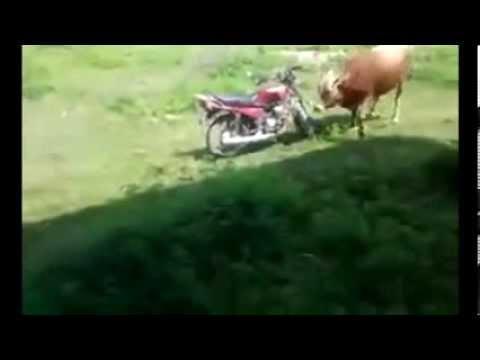 Býk si to rozdá s motorkou místo krávy..