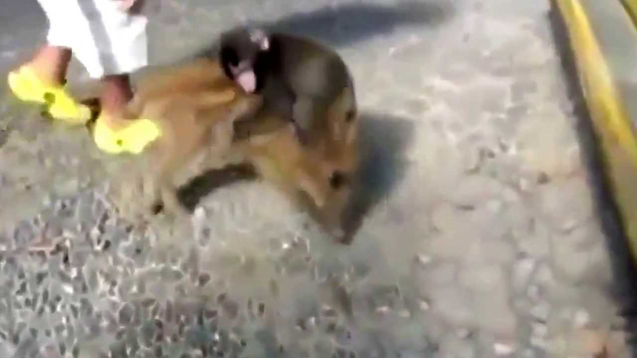 Baby Monkey Riding On A Dog Baby Monkey Riding On ...