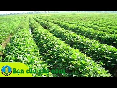 Những lưu ý khi trồng và chăm sóc khoai lang lấy củ
