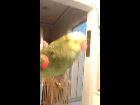 Amazon parrot double yellow head dancing كاسكو يرقص