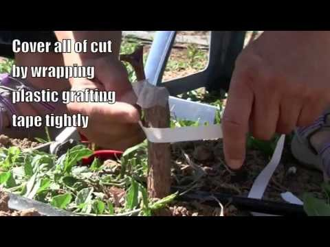 grafting jujube trees