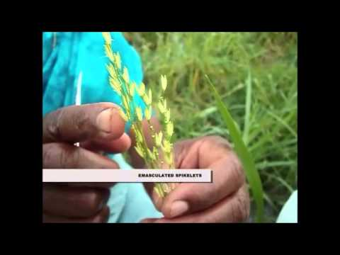 Pollination technique in Rice