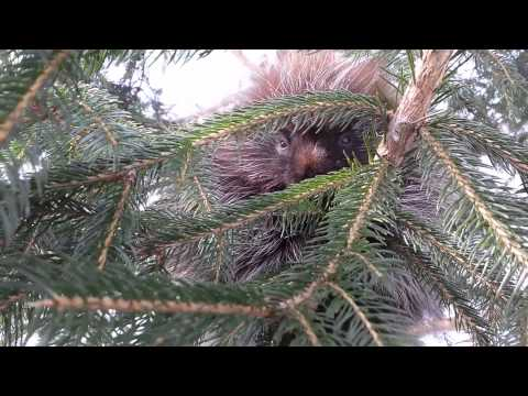 Baby porcupine talking - adorable