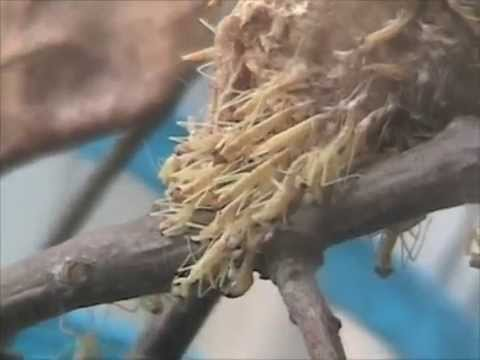 Praying mantis eggs hatching
