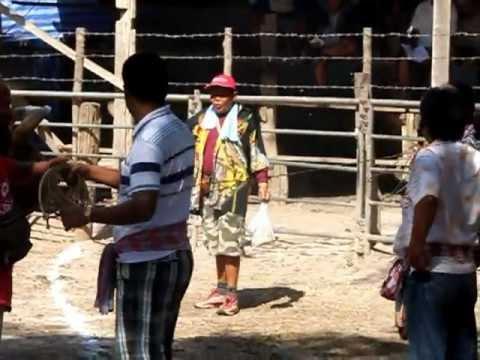 วัวชนชิงแชมป์ประเทศไทย2556 (1)
