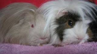 Smurfenlied Wordt Cavia Lied