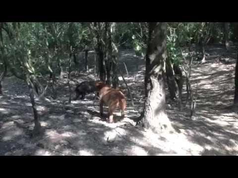 I Tigrati di Jena - Segugi maremmani da cinghiale - Pepita e Franca