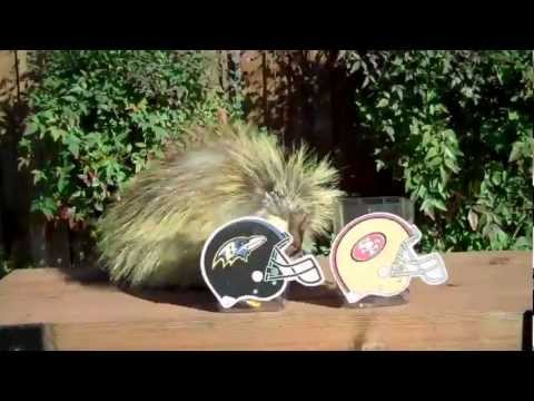 Teddy Bear the Porcupine Predicts the Super Bowl