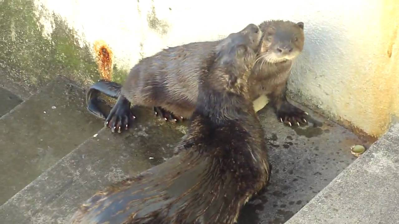 What a young river otter sounds like - YouTube Otter Sounds