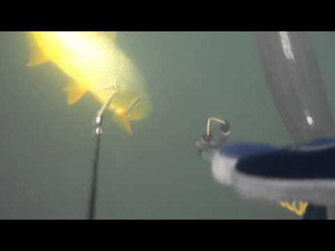 Pesca sub Dourado