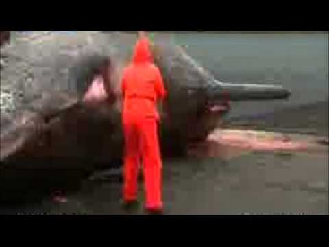 Giant Sperm Whale Belly Bursts on Man Video!Yuck!