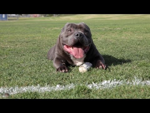 EXCALIBUR – THE $63,000.00 PIT BULL