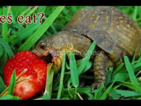 Turtles eating cantaloupe for What do wild fish eat