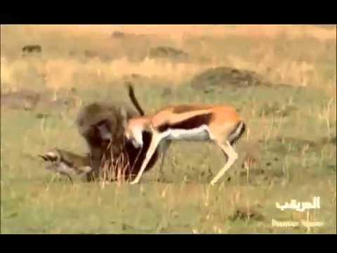 yavrusunu maymuna kaptıran geyik mücadelesi