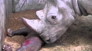 Neushoorn Wiesje Voor Het Eerst Buiten Videos De