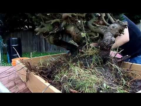 Pre-Bonsai/Yamadori mugo pine repotted in training pot. Part 1