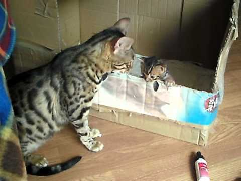 bengal cat talking to her kitten - ORIGINAL, Check our our NEW TALKING cat video!!! Link: Check out our NEW TALKING CAT VIDEO!!! LINK: https://www.youtube.com/watch?v=X7e6ByKdWBQ so cute if anyone wants...