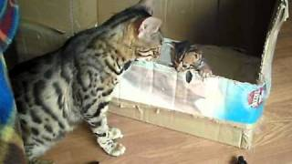 Bengal Cat Talking To Her Kitten ORIGINAL