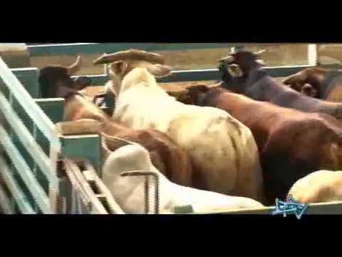 ¿Cómo se faena y procesa la carne de vaca?.flv