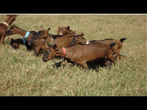 Curso Criação de Cabras Leiteiras - Cria, Recria e Produção de Leite - Cursos CPT