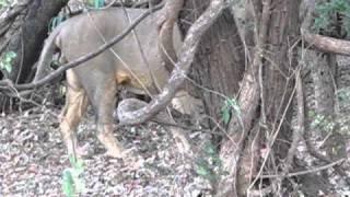 Lion At Gir Forest Origianl Video
