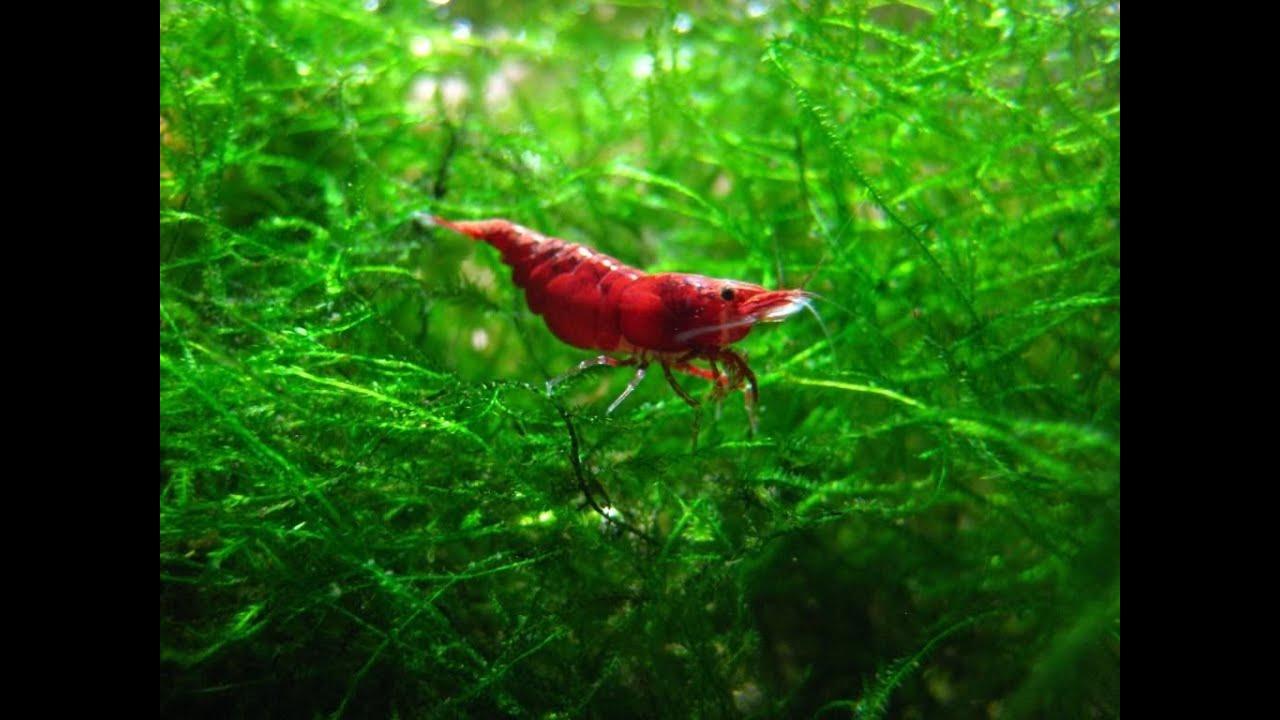 Red Cherry Shrimp Breeding Tank Colony - YouTube