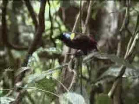 Rare Birds Of Paradise David Attenboro...