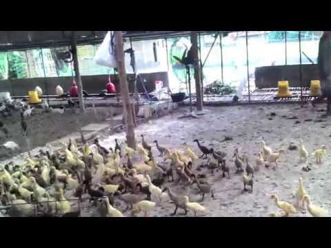 diet untuk anak ayam