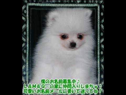 ポメラニアンブリーダー TWINKLESNOW犬舎の動画