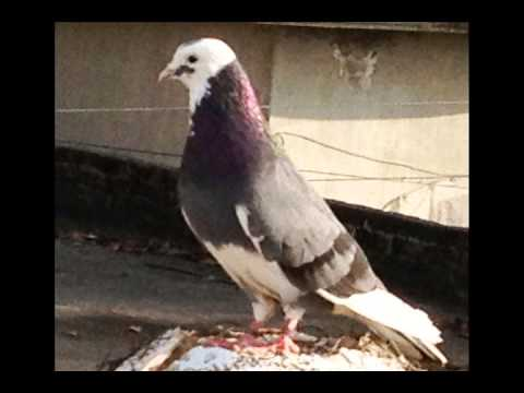 pigeon in sialkot of sahowala