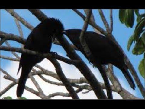 pássaro preto pele canto Mateiro Mineiro com 30 Minutos de Canto e 15 Minutos de Silêncio