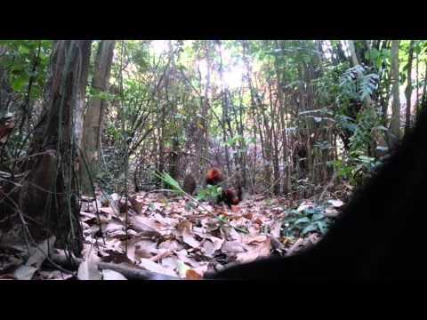 Ayam hutan - K2 tapau laman bukit naga