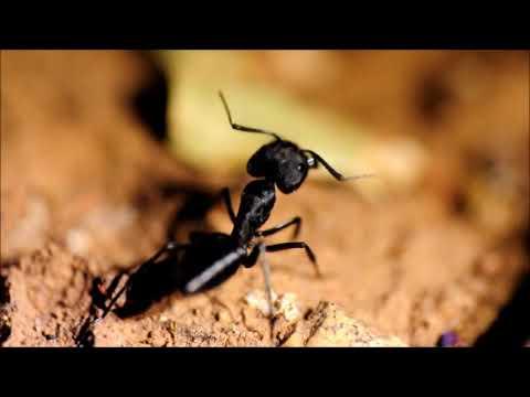 batalla hormigones (Camponotus morosus)  version preliminar