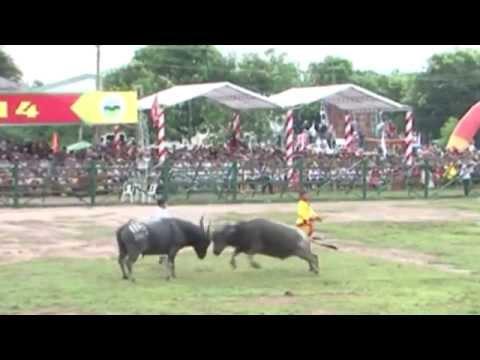 [Du lịch] Lễ hội chọi trâu đầu tiên ở Bình Phước