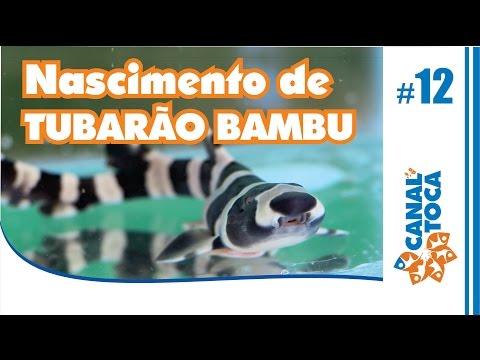 Nascimento de Tubarão Banded - Asian Bamboo
