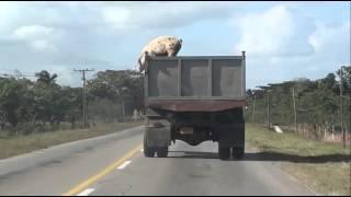 Cerdo hacia la libertad