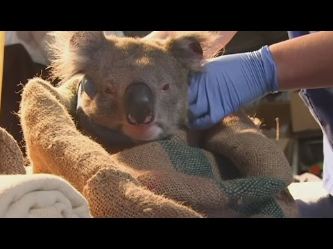 Koalas who ate themselves out of house and home