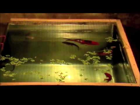 Koi and goldfish in indoor tank youtube for Indoor koi fish tank