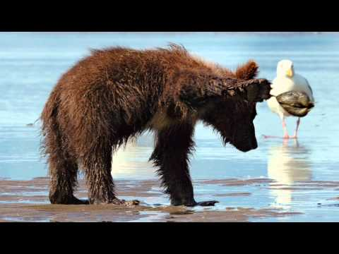 "Disneynature's Bears - ""Digging Up Clams"" Clip"