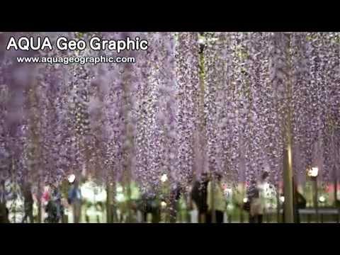 Глициния в парке цветов ASHIKAGA.mp4
