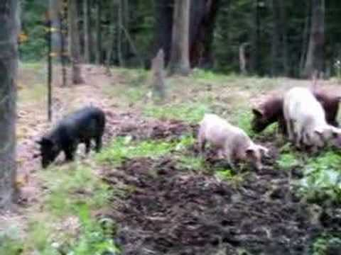 MR. PIG MEETS ELECTRIC FENCE! - YOUTUBE
