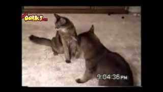 VIDEOS DE GATOS CHISTOSOS