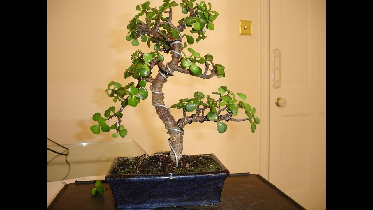 Bonsai Jade Wiring Amp Pruning Youtube