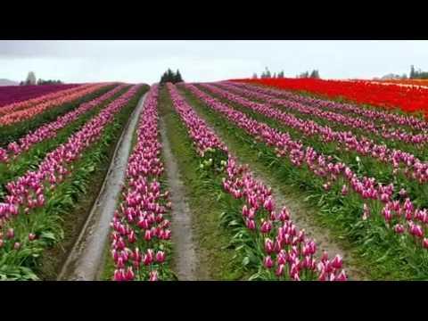 Mùa Thu Vàng (9) - Vườn Hoa Tulip USA - Hoa Soan Bên Thềm Cũ