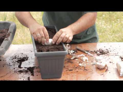 Cómo sembrar ajos en macetas//Balcón comestible//LlevamealhuertoTv