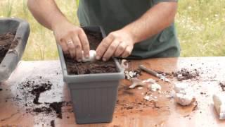 Sembrar ajos en macetas