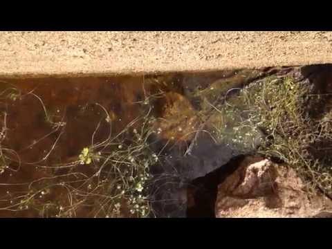 Miniatura del vídeo Ataque de culebra acuática a gallipato Parte 1 de 4