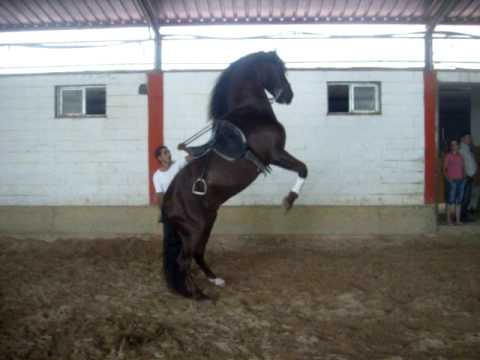 SpanishHorseMatters.com: Spanish/Andalusian horse performing Alta Escuela