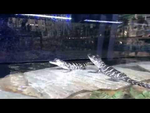 Alligator Adventures with Charlie Shikany Part 2